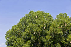 Skylark nests. On big trees Royalty Free Stock Image