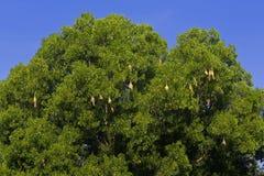 Skylark nests. On big trees Royalty Free Stock Photography