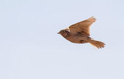 Skylark over the meadow Stock Photography
