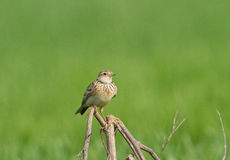 Skylark on the perch Stock Photo