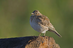 Skylark on the perch Royalty Free Stock Photos