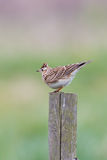 Skylark perched on fence post Stock Images