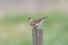 Skylark perched on fence post Royalty Free Stock Images