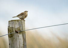 Skylark Royalty Free Stock Photos