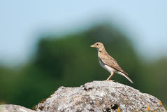 Skylark on a rock Royalty Free Stock Photo