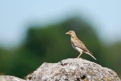Skylark on a rock. Skylark on a boulder with a catch Royalty Free Stock Photo