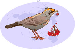 Skylark with sorbus berries Stock Image