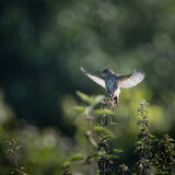 Skylark starts to take off to flight from nettle (Alauda arvensi stock photos