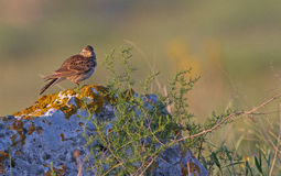 Skylark on the stone Stock Image