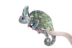 skyld calyptratuschamaeleokameleont royaltyfria bilder