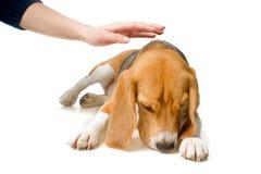 Skyldig hund fotografering för bildbyråer