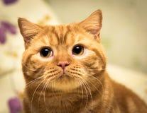 Skyldig katt Arkivbilder