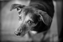 Skyldig seende hund som ser upp på ägaren Royaltyfri Foto