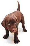 skyldig valp för hund Royaltyfri Fotografi