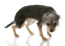 skyldigt se för hund Arkivfoto