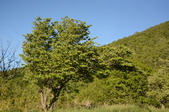 Skyline Drive Tree in Summer. Stock Photography
