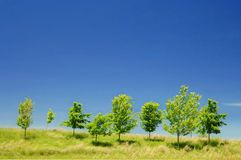 Skyline Trees. Maple trees on the skyline blowing in the wind Royalty Free Stock Photo