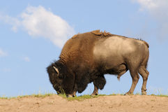 Skylined Bison Stock Photos