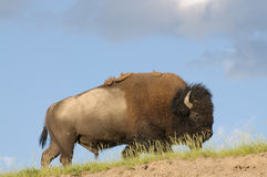 Skylined Bison Royalty Free Stock Photo