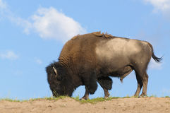 Skylined buffalo Royalty Free Stock Image