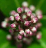 Skymmia cor-de-rosa macro Fotografia de Stock Royalty Free