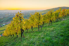 Skymning i aftonen i en vingård i höst Arkivfoton