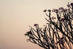 skymning Solnedgången till himlen är röd med skuggan av trädet Royaltyfria Bilder