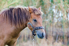 Skyrian horse Royalty Free Stock Images