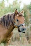 Skyrian horse Stock Photos