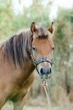 Skyrian horse Royalty Free Stock Photo