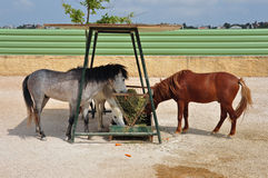 Skyros pony horses hay feeder Royalty Free Stock Photography