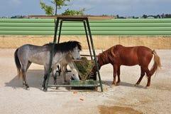 Skyros pony horses hay feeder Royalty Free Stock Photography