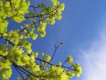 Skys e folhas Fotografia de Stock