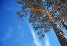 Skyscape with pine branches Stock Images