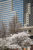 Skyscrapers and blooming cherry trees, New York City Stock Photo