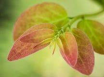 Skytte för blad för stjärnakrusbär ung Arkivfoto