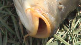 Skytte med den vid liv och härliga stora fisken i grönt gräs som fångas av en fiskare arkivfilmer