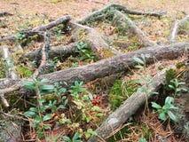 Skyttlar av ett träd Arkivbilder