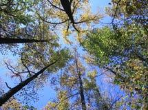 Skyward árvores foto de stock