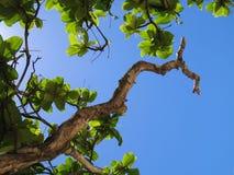 Skyward Mac Nut. Macadamia Nut tree branch reaching towards the Hawaiian noon sky Stock Photos