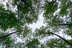 Skywards vista degli alberi con la nuvola Fotografie Stock