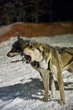 Släde med huskies Royaltyfri Foto
