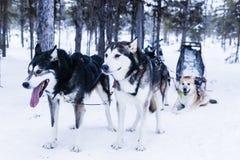 Släde på slädehunden Arkivfoto