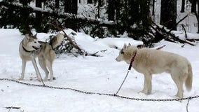 Slädehund för Siberian Huskies som väntar på körningen stock video