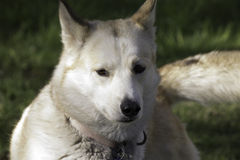 Slädehund som kopplar av i sommaren Arkivfoto