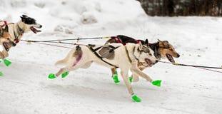 Slädehund Team Flies By Royaltyfri Foto