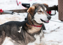 Slädehunden väntar på loppet Fotografering för Bildbyråer