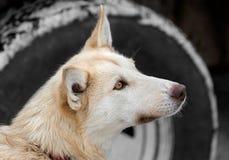 Slädehunden vid lastbilgummihjulet ser upp Arkivbild