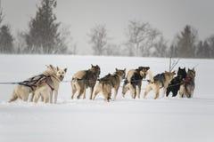 Slädehundkapplöpning Royaltyfri Fotografi