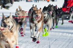 Slädehundkapplöpning som kör ett lopp Royaltyfri Foto